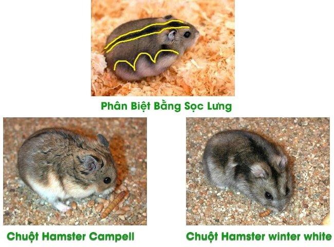 1 cach phan biet chuot hamster campell va winter white