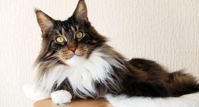 Benh Feline Immunodeficiency Virus O Meo