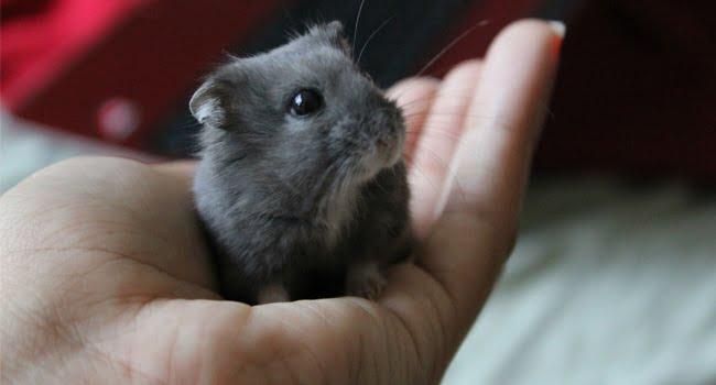 Cach Choi Voi Chuot Hamster