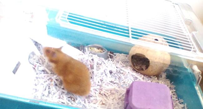Cach Chon Giuong Ngu Cho Chuot Hamster