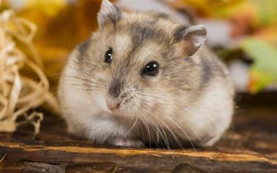 Cach Huan Luyen Chuot Hamster