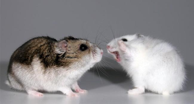 Cach Xac Dinh Gioi Tinh Chuot Hamster