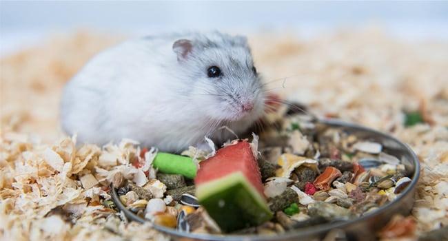 Chuot Hamster An Gi