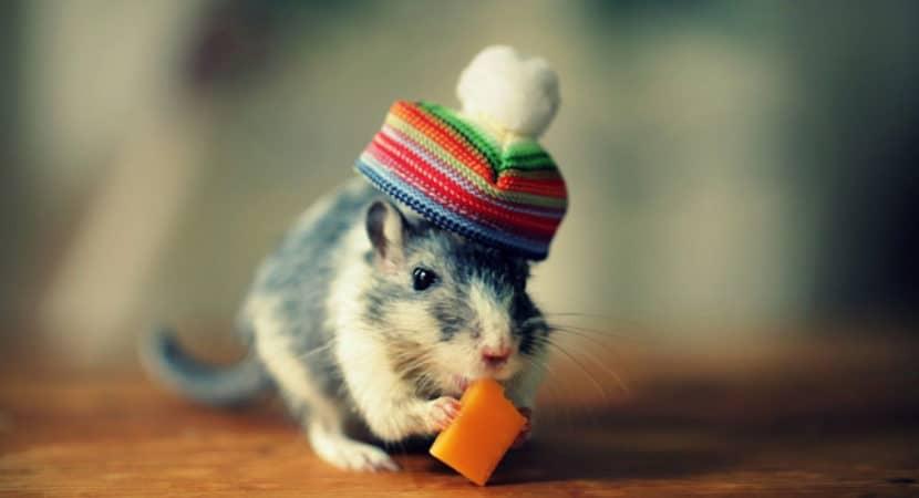 Chuot Hamster An Pho Mai