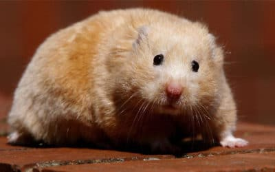 Chuot Hamster Beo Phi