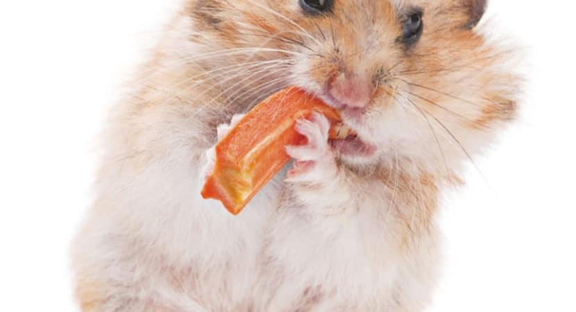 Chuot Hamster Co An Carot Khong