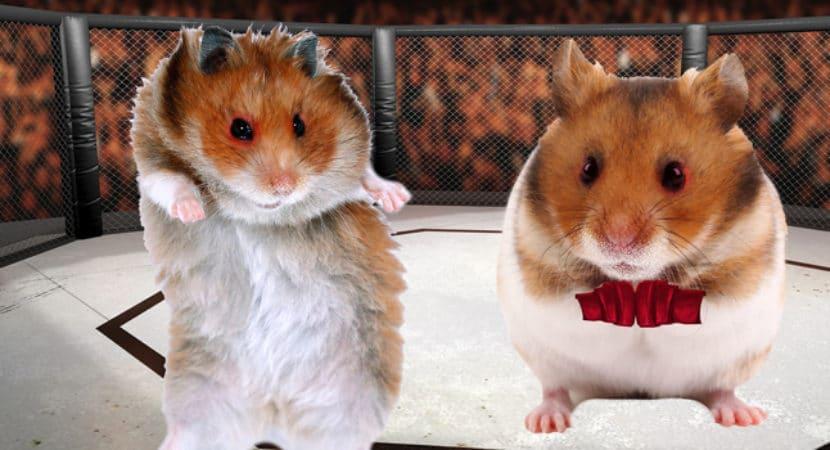 Chuot Hamster Danh Nhau Can Nhau