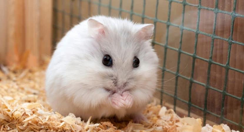 Chuot Hamster Mang Thai