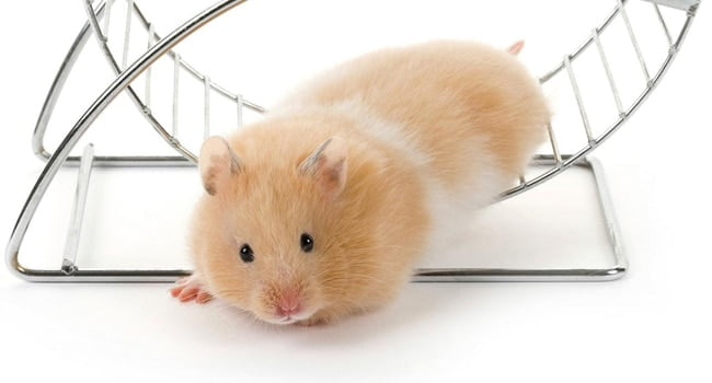 Chuot Hamster