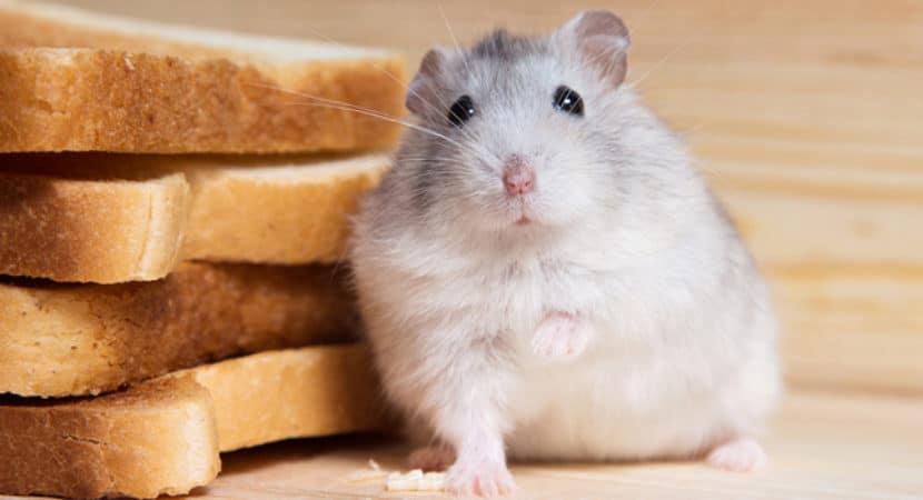 Co Nen Cho Chuot Hamster An Banh My