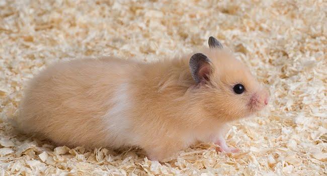 Huong Dan Chon Mua Chuot Hamster