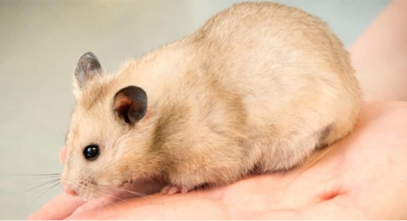 Luu Y Khi Cham Soc Chuot Hamster