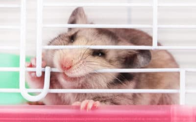Ly Do Chuot Hamster Can Long