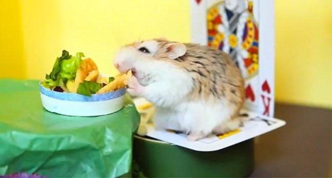 Thuc An Cho Chuot Hamster