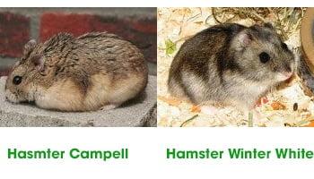 3 cach phan biet chuot hamster campell va winter white