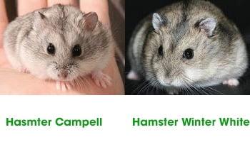 7 cach phan biet chuot hamster campell va winter white