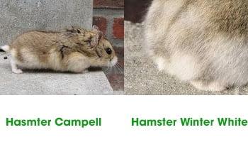 8 cach phan biet chuot hamster campell va winter white bang duoi