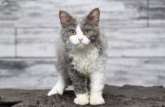 Selkirk Rex giong meo my