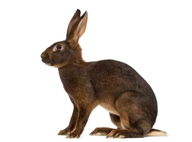 Tho bi Hare