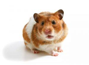 ap xe o chuot hamster