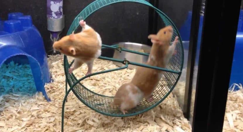 Banh Xe Chay Cho Chuot Hamster