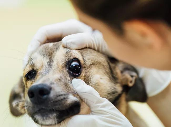 Bệnh Mắt Đỏ Ở Chó