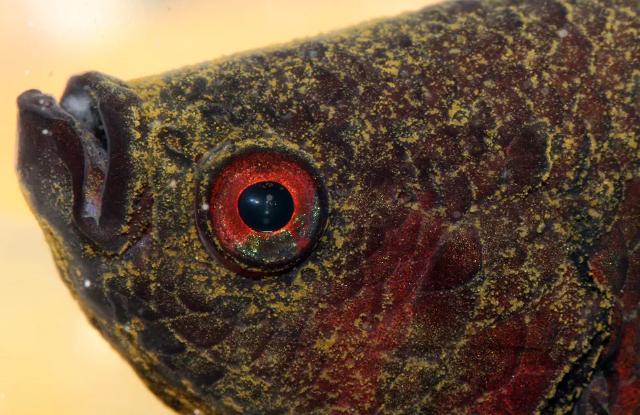 Bệnh Nấm Velvet Ở Cá