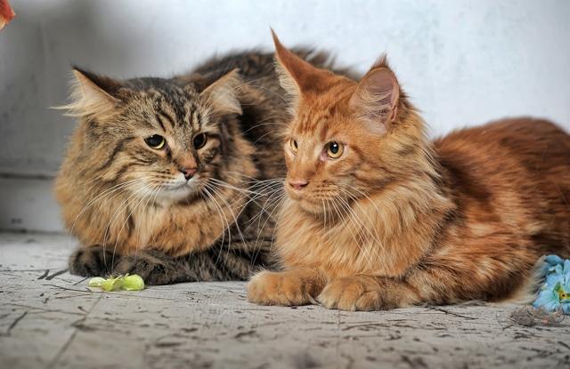 Pyometra Ở Mèo