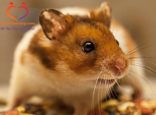 rối loạn sinh sản ở chuột hamster