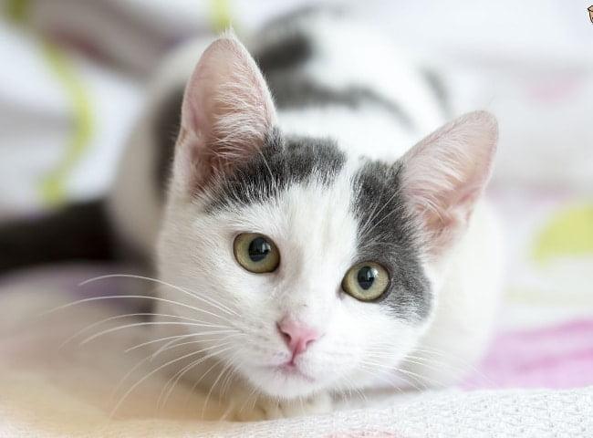 Bệnh Suy Giảm Miễn Dịch Ở Mèo