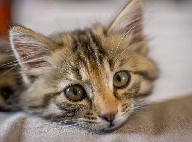 Thoái Hoá Tiểu Não Ở Mèo