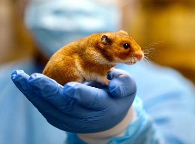 bệnh thường gặp ở chuột hamster