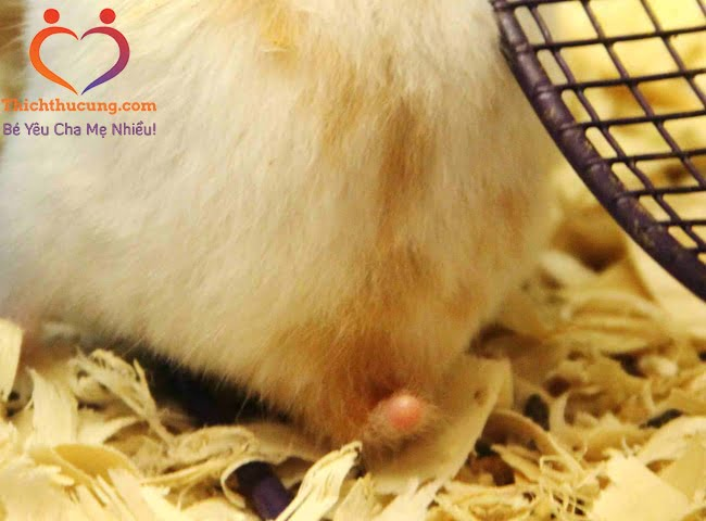 bệnh tiêu chảy ở chuột hamster
