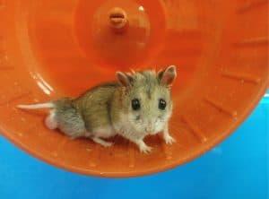 benh tieu duong o chuot hamster