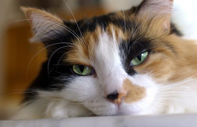 Bệnh Tim Ở Mèo Ba Tư
