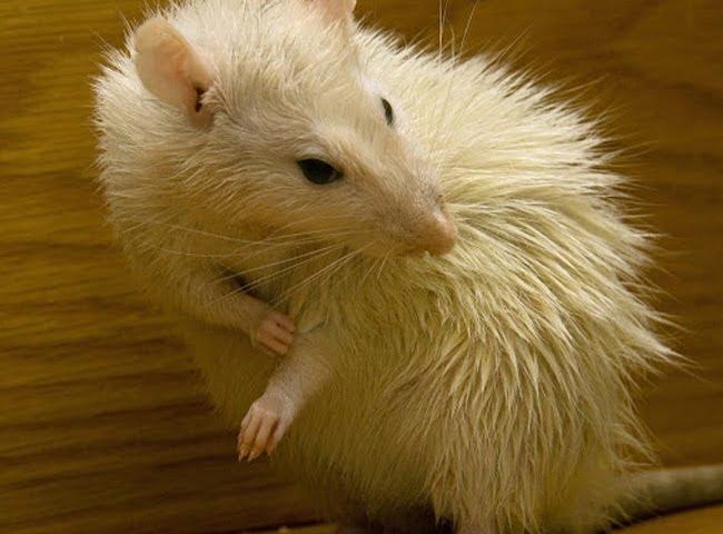 bọ chét chuột hamster