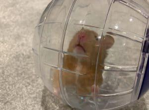 bong tap the duc co tot cho chuot hamster khong