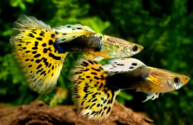 ca 7 mau leopard