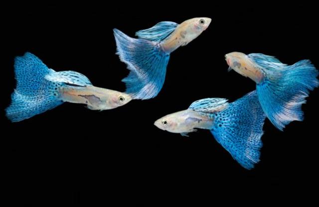 ca bay mau blue nhat ban