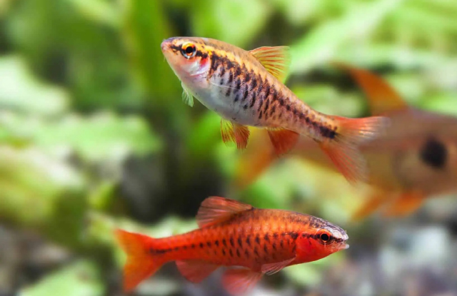ca canh Cherry Barb