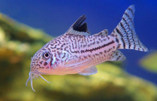 ca canh Corydoras Catfish