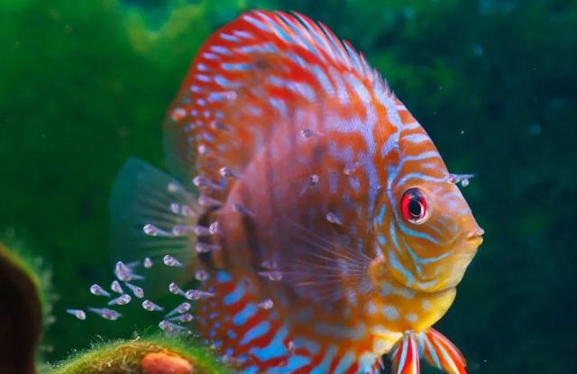 cá dĩa đỏ