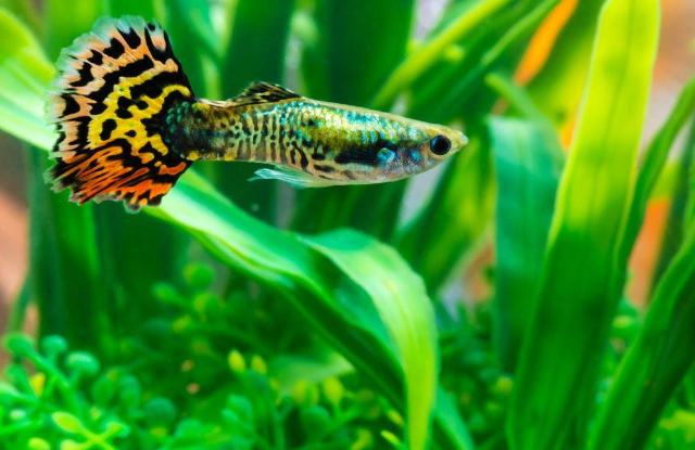 Cá Guppy