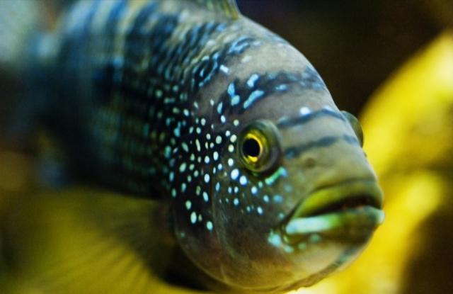 Cá Jack Dempsey