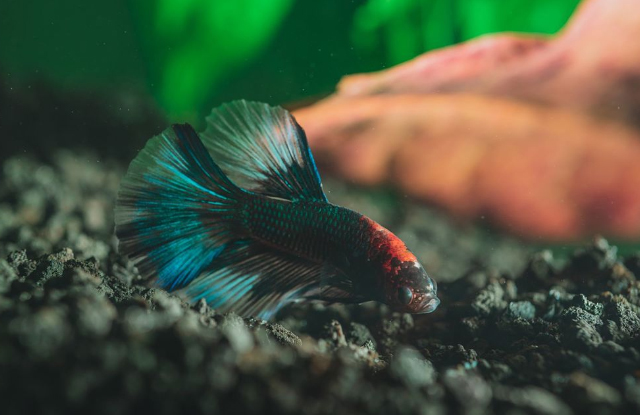 Cá Kiểng