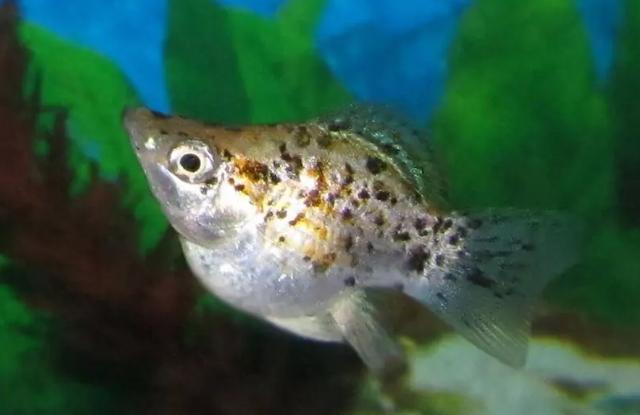 Cá Molly