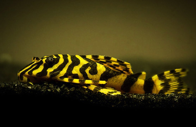 ca pleco leopard