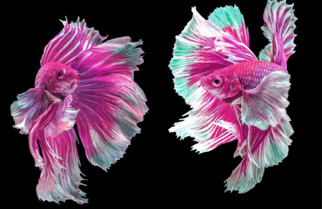 Cá Xiêm