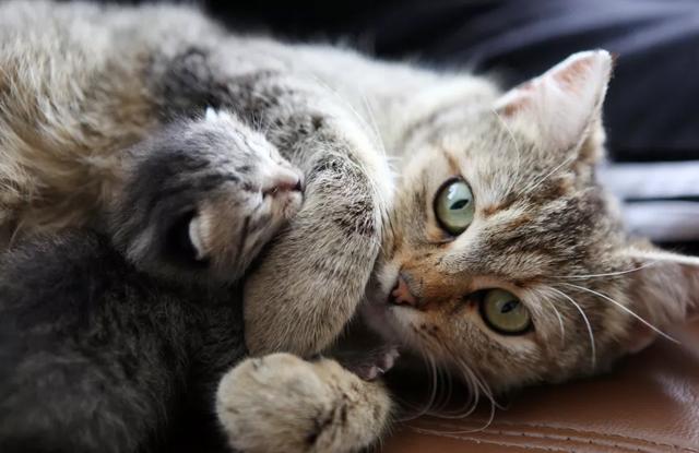 Các Giai Đoạn Mang Thai Ở Mèo