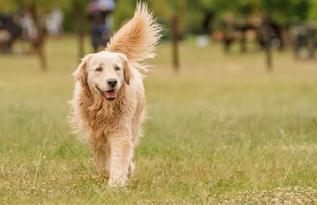 Các Loại Chó Cho Người Mới Bắt Đầu Nuôi